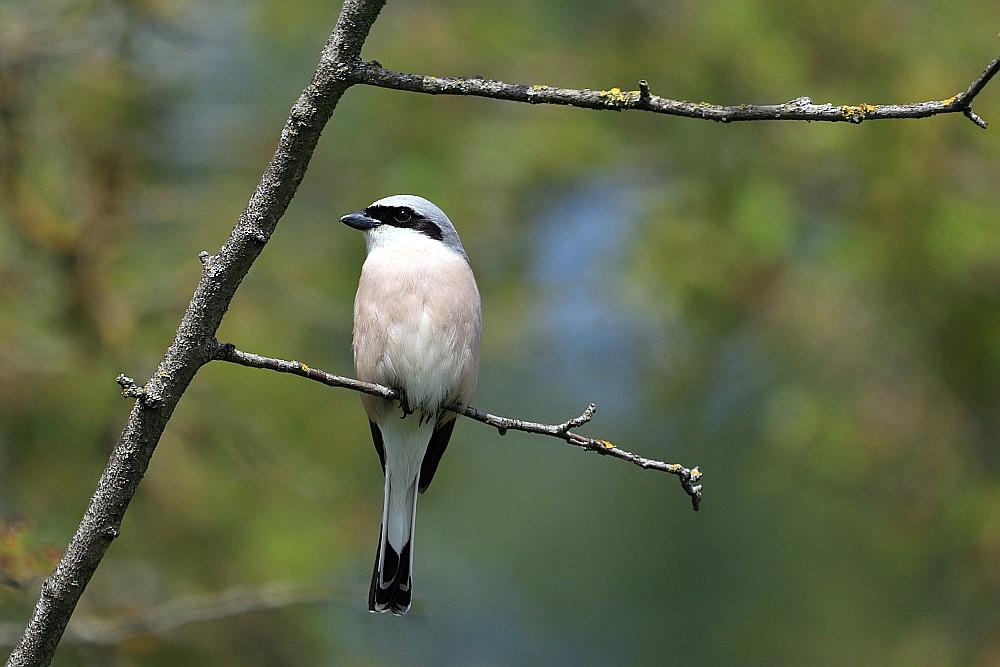 Sehr zutraulich zeigte sich der Neuntöter wie im letzten Jahr, möglicherweise derselbe Vogel? 17.05.20 Foto: Hartmut Peitsch
