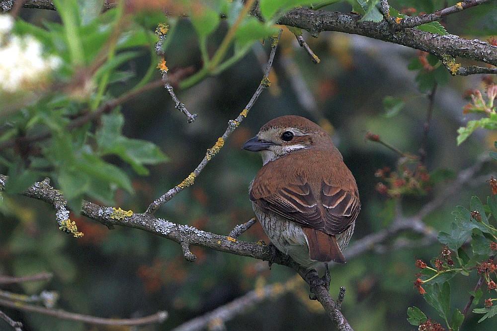 Das Neuntöter-Weibchen ist nicht so zutraulich wie das Männchen. 24.05.20 Foto: Hartmut Peitsch