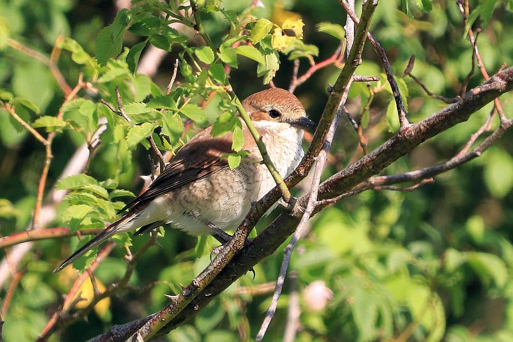 Neuntöter - Weibchen, 31.05.20 Foto: Hartmut Peitsch