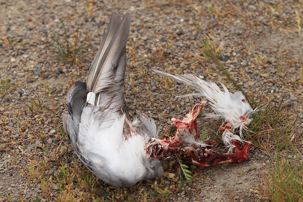 Die Reste einer Brieftaube mit manipuliertem Flügel. 25.05.20 Foto: Hartmut Peitsch