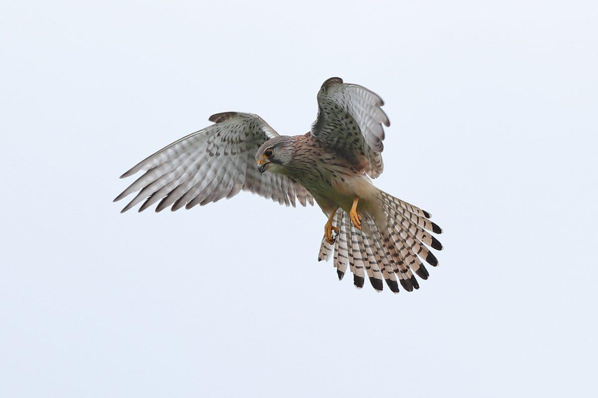 Turmfalke (Weibchen)