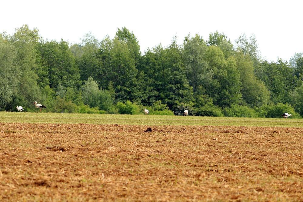 5 von 10 Weißstörchen auf dem Feld. 16.05.20 Foto: Hartmut Peitsch