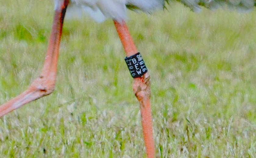 Der Ring des Storches. 16.05.20 Foto: Hartmut Peitsch