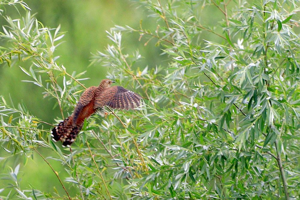 Kuckuck im Anflug in die jungen Weiden am Ufer der Wasserfläche. 18.06.20 Foto: Hartmut Peitsch