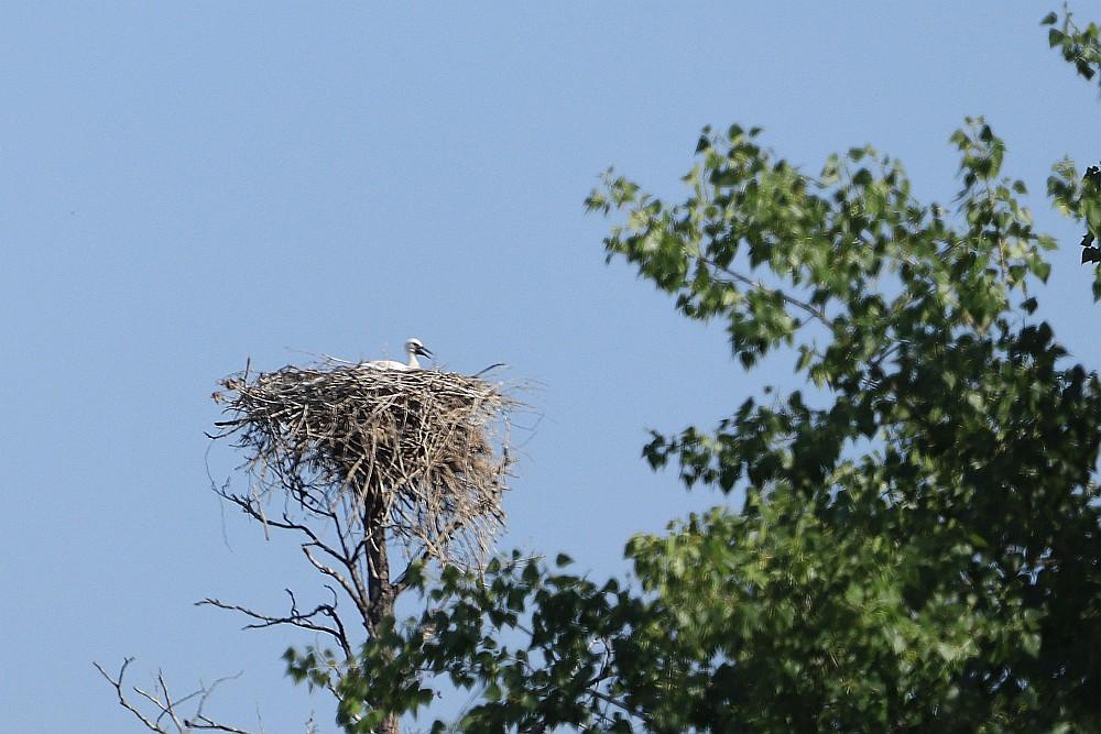 Dem Storchenjungtier scheint es langsam heiß zu werden. 23.06.20 Foto: Hartmut Peitsch