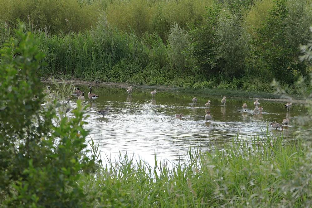 Viele Gänse wenig Wasser... 24.07.20 Foto: Hartmut Peitsch