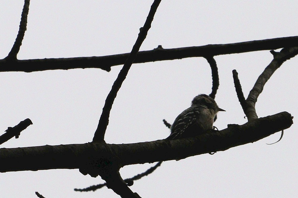 Kleinspecht hoch oben im Baum. 27.07.20 Foto: Hartmut Peitsch