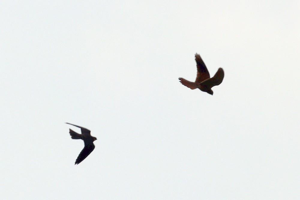 Luftkampf der Falken. Oben rechts ein Turmfalke, unten links ein Baumfalke. 24.08.20 Foto: Hartmut Peitsch