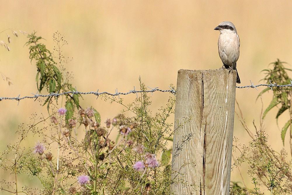 Noch ein Männchen keine 10m weiter auf dem gleichen Zaun. 31.07.20 Foto: Hartmut Peitsch