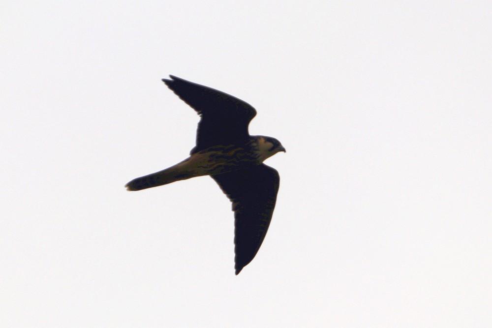 Derselbe Vogel im Flug. 08.09.20 Foto: Hartmut Peitsch
