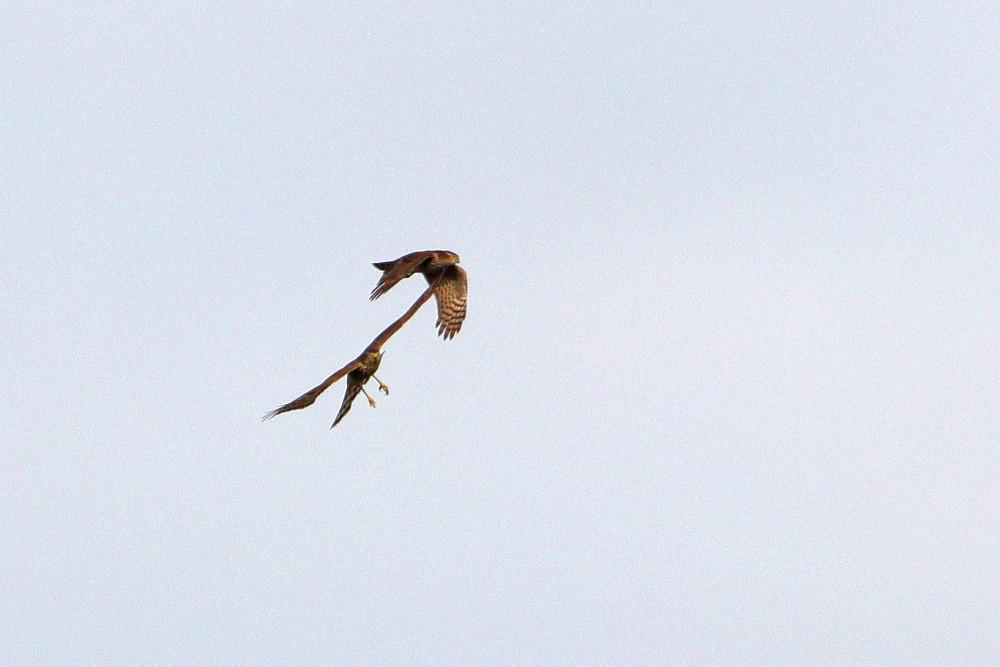 Flugspielchen der Sperber, 05.09.20 Foto: Hartmut Peitsch