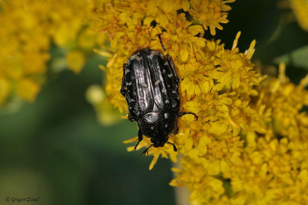 Trauerrosenkäfer