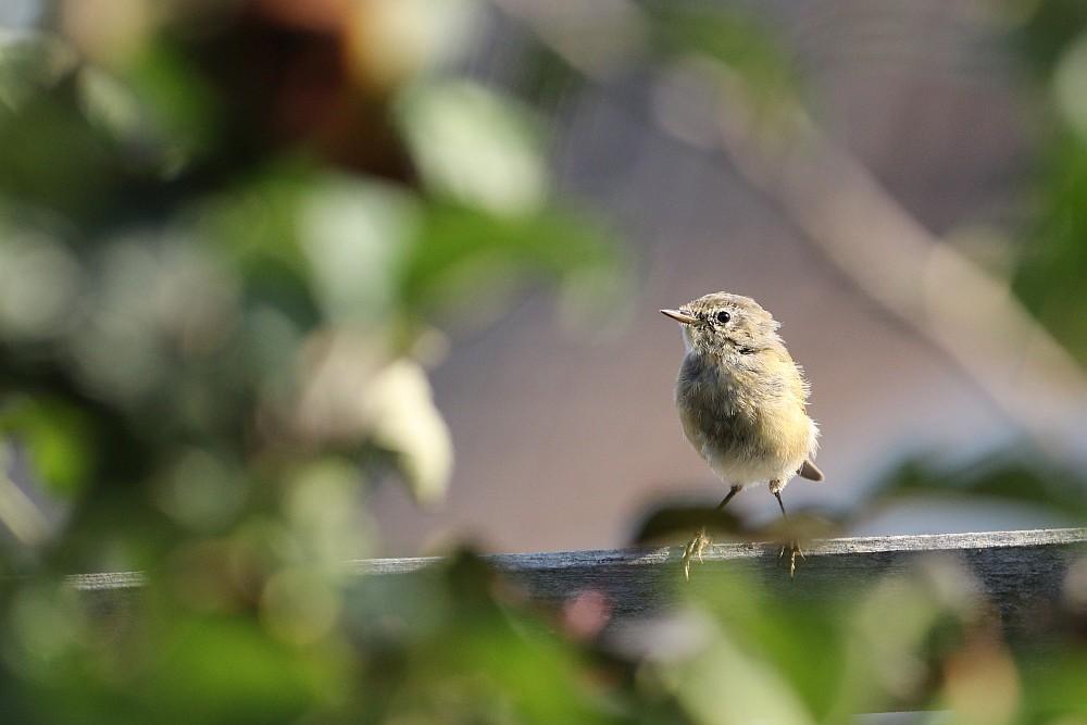 Etwas zerzaust schaut der Zilpzalp aus, wohl ein Jungvogel. 12.09.20 Foto: Hartmut Peitsch
