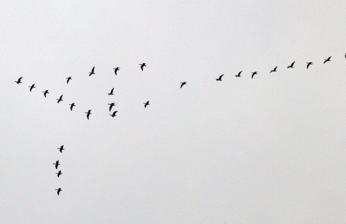 Auch mehrere Gruppen von grauen Gänsen zogen über Bönen. 16.10.20. Foto: Hartmut Peitsch