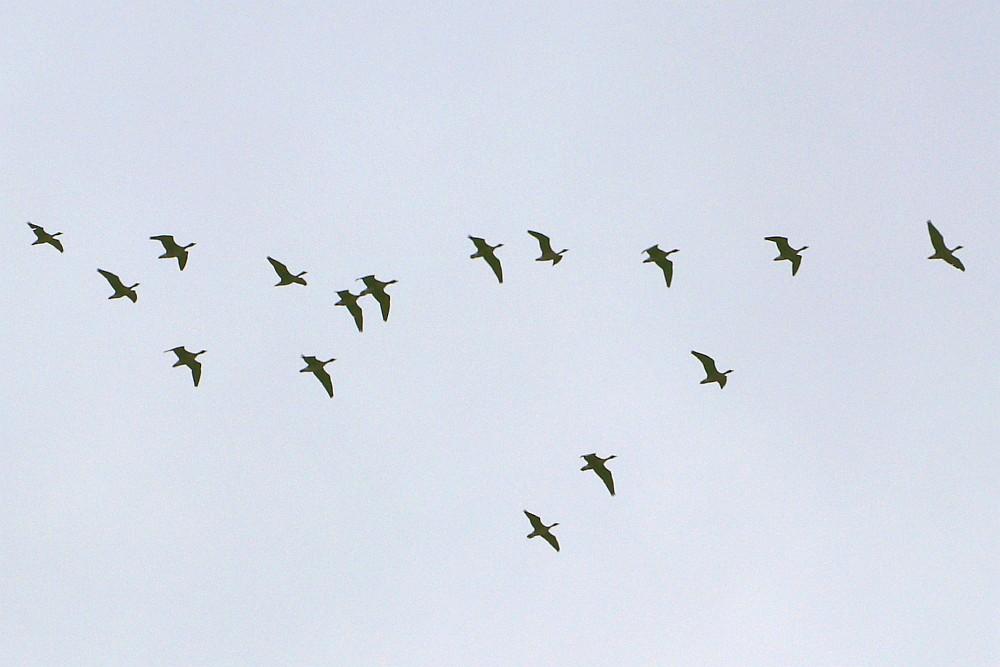 Ziehende Gänse am 16.10.20. Foto: Hartmut Peitsch