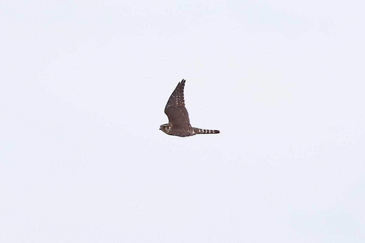 Merlin im Flug