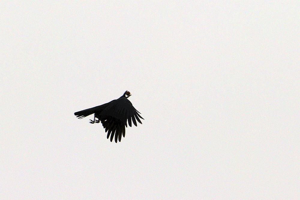 Rabenkrähe setzt zum Wurf an. 12.10.20. Foto: Hartmut PeitschRabenkrähe