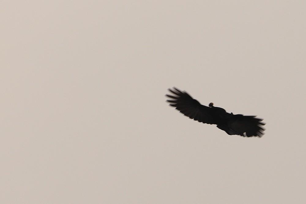 Rabenkrähe schlägt Rückwärtssalto. 12.10.20 Foto: Hartmut Peitsch