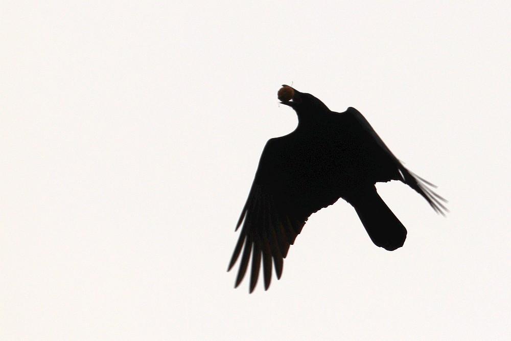 Rabenkrähe mit Walnuss, 12.10.20. Foto: Hartmut Peitsch
