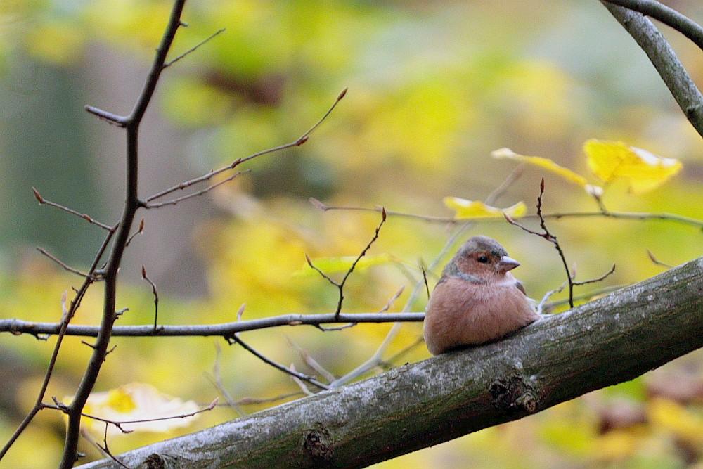 Entspannter Buchfink im Mergelberg-Wald. 01.11.20 Foto: Hartmut Peitsch