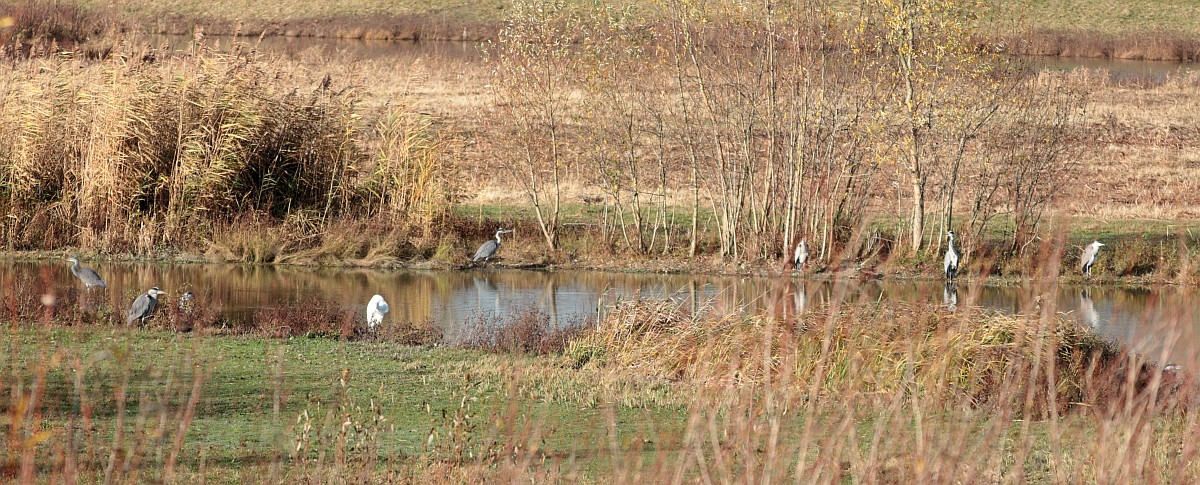 """Ein Silberreiher unter den grauen """"Kollegen"""". 23.11.10 Foto: Hartmut Peitsch"""