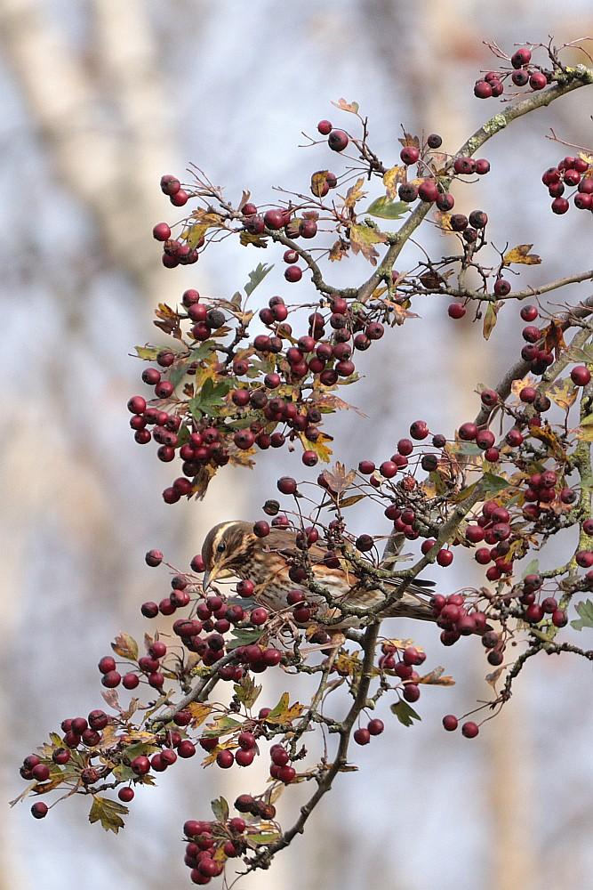 Rotdrossel beim Frühstück, 23.11.10 Foto: Hartmut Peitsch