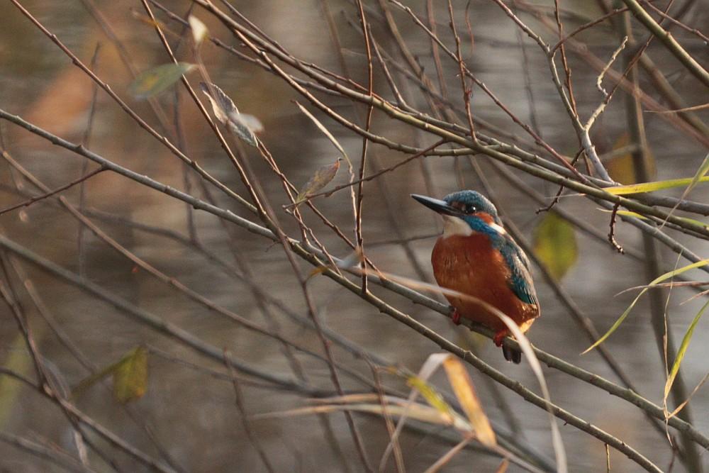 Eisvogel, 08.12.20 Foto: Hartmut Peitsch
