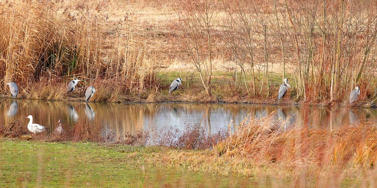 Belagerung von Graureihern am Ufer der Wasserfläche. 20.12.20 Foto: Hartmut Peitsch