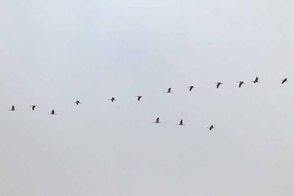 Kraniche, 25.12.20 Foto: Hartmut Peitsch