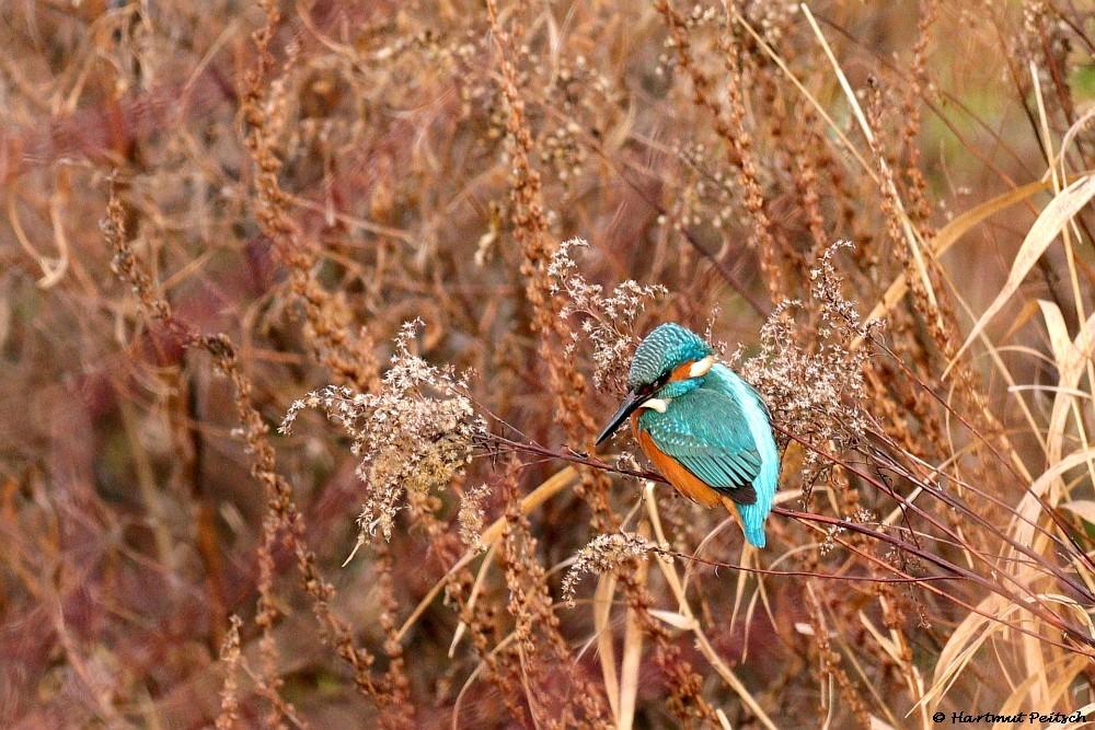 Eisvogel an der Seseke. 13.01.21 Foto: Hartmut Peitsch
