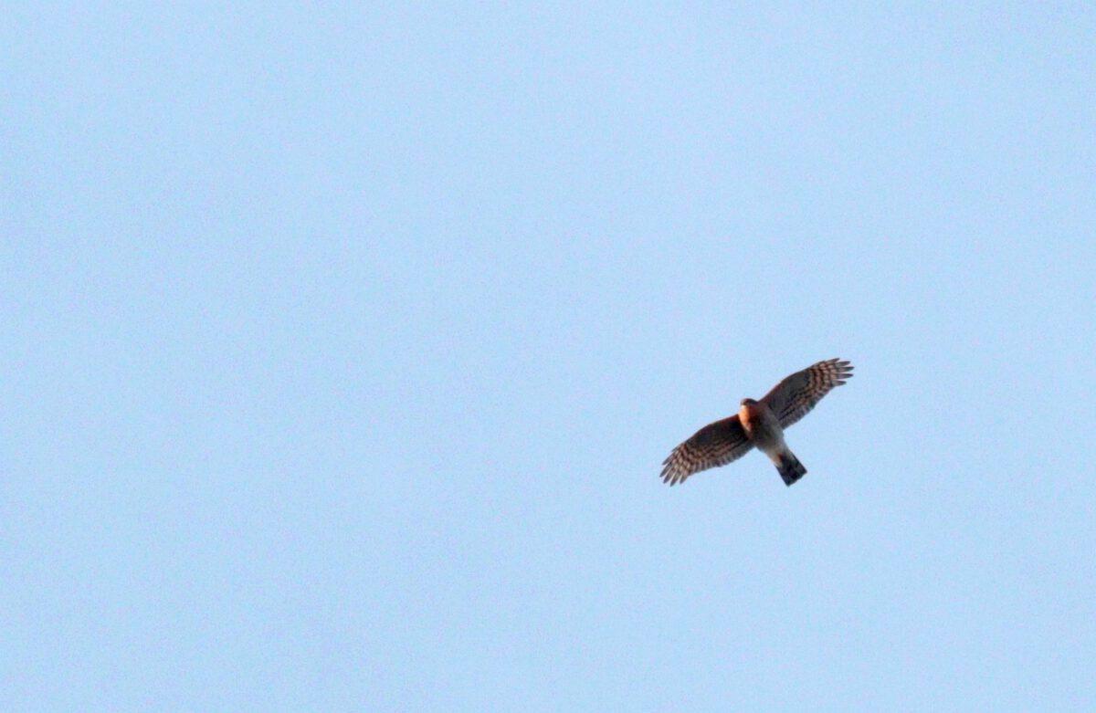 Sperber-Männchen hoch über dem HRB. 31.01.21 Foto: Hartmut Peitsch