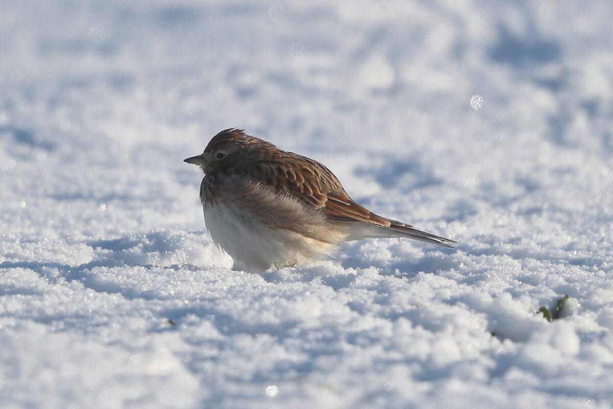 Feldlerche im Schnee