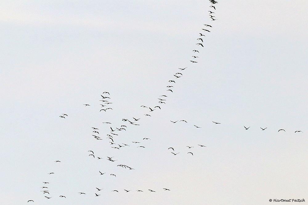 Kraniche, 16.02.21 Foto: Hartmut Peitsch