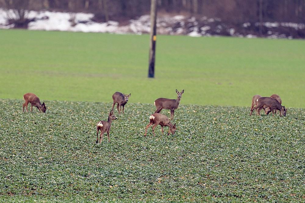 Ein großer Sprung Rehe mit 9 Tieren in Bramey-Lenningsen. Ein Reh fehlt auf diesem Foto 17.02.21 Foto: Hartmut Peitsch