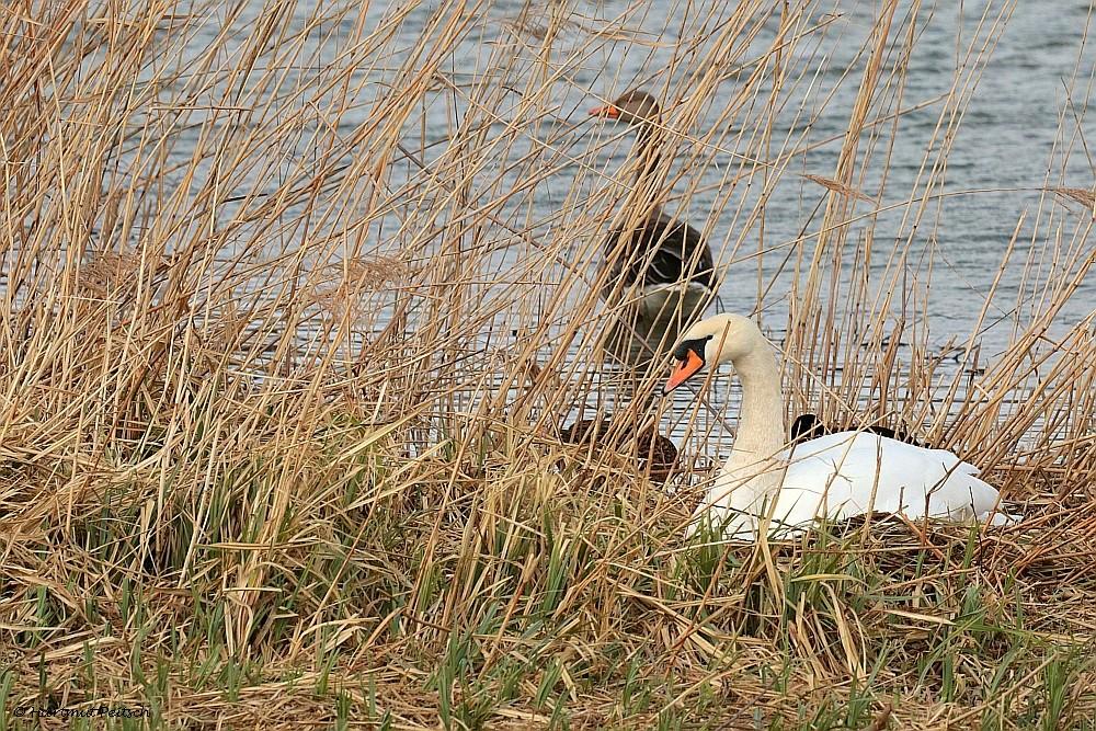 Höckerschwan auf dem Nest. 12.03.21 Foto: Hartmut Peitsch