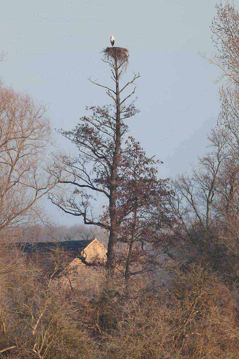 Weißstorch Hemmerder Wiesen
