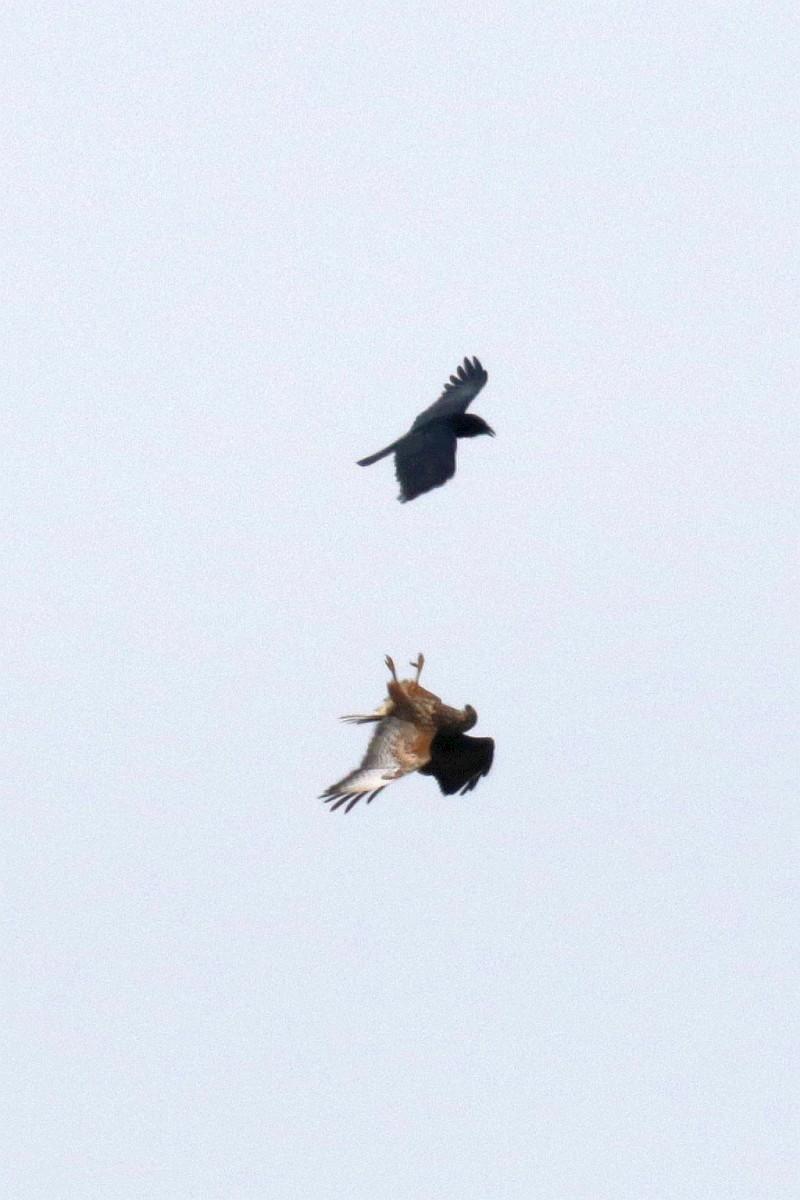 Mäusebussard im Luftkampf mit einer Rabenkrähe. 25.04.21 Foto: Hartmut Peitsch