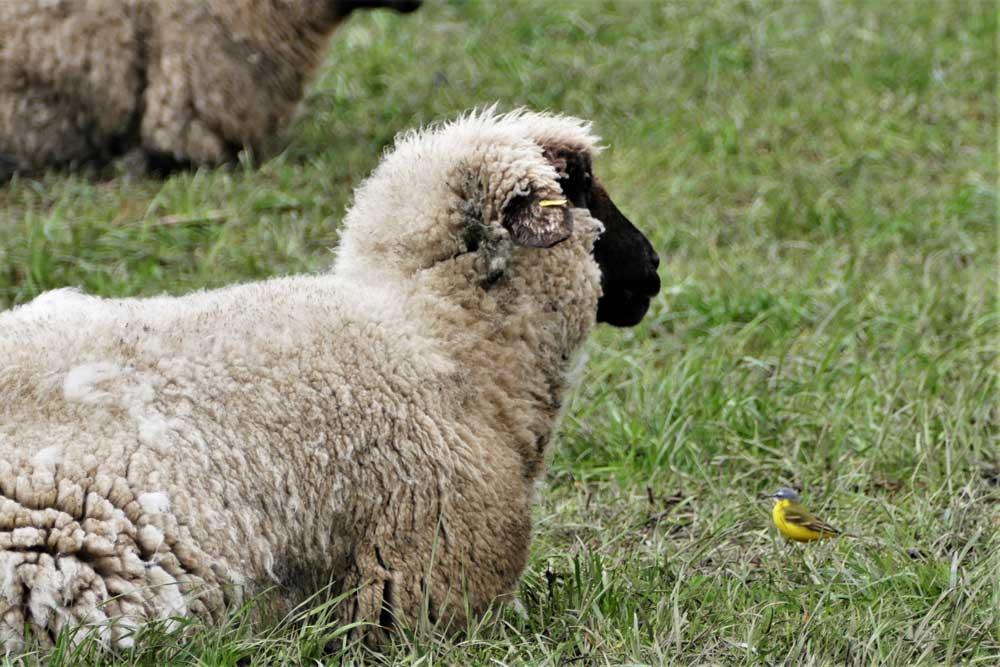 Schafstelze