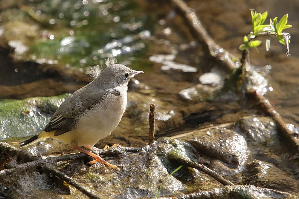 Ein Nestgeschwister direkt an der Seseke. 03.05.21 Foto: Hartmut Peitsch