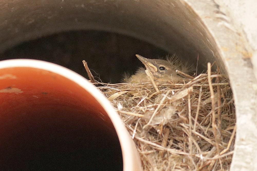 Leider ist nur ein Nestling zu erkennen. 01.05.21 Foto: Hartmut Peitsch