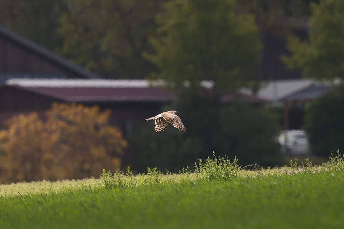 Kornweihe (Weibchen)
