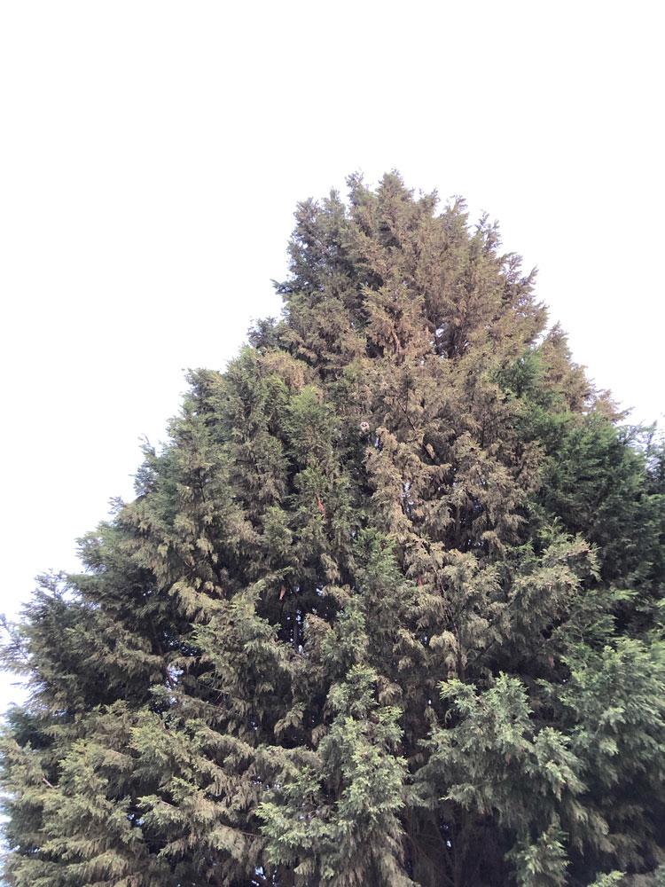 Waldohreule
