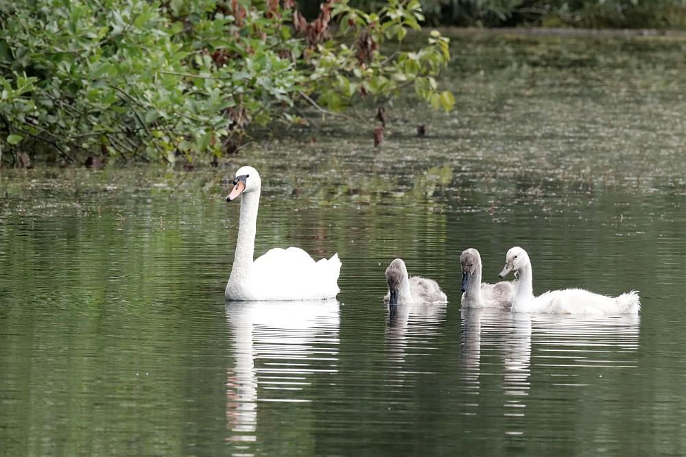 Höckerschwäne auf dem Teich am Mergelbergwald. 05.07.21 Foto: Hartmut Peitsch