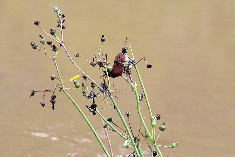 Schnecke auf eine noch aus dem Wasser ragende Pflanze gerettet. 15.07.21 Foto: Hartmut Peitsch