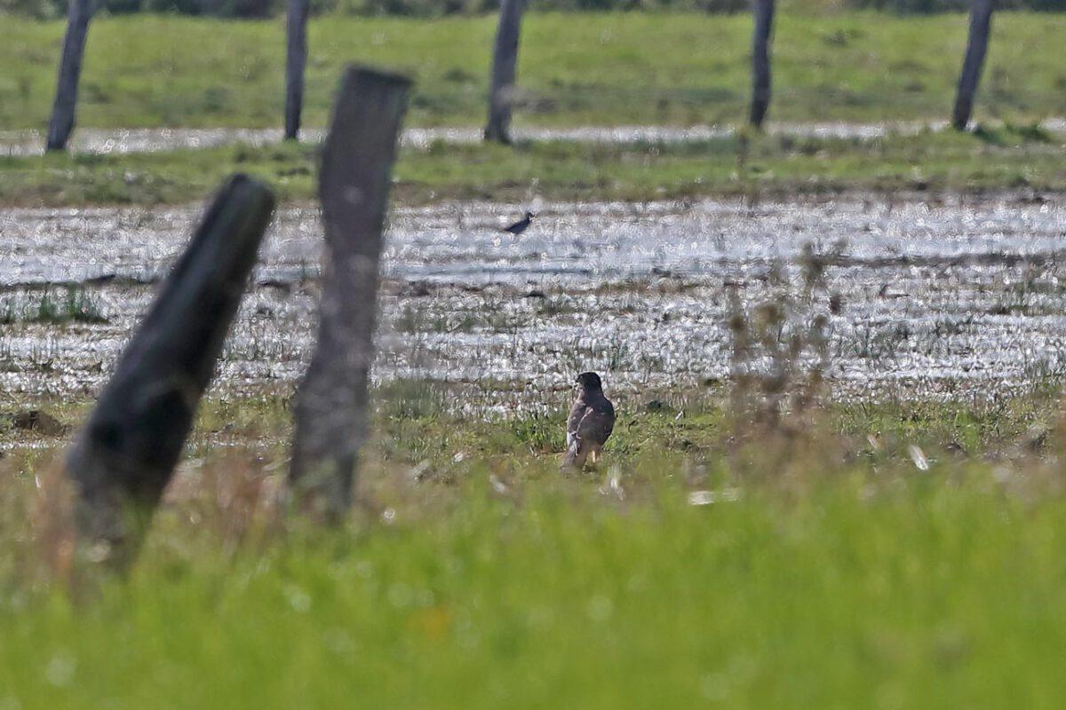 Habicht (Jungvogel) in den Hemmerder Wiesen