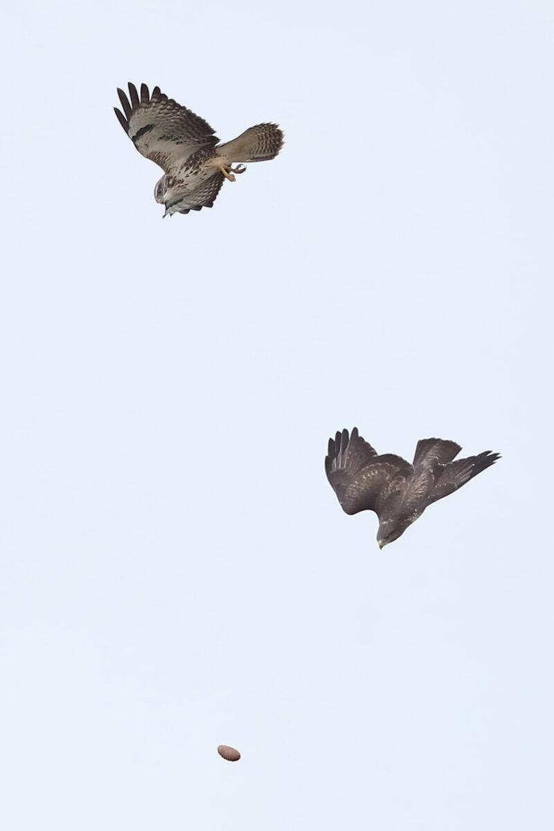 zwei Mäusebussarde fangen Fichtenzapfen in der Luft