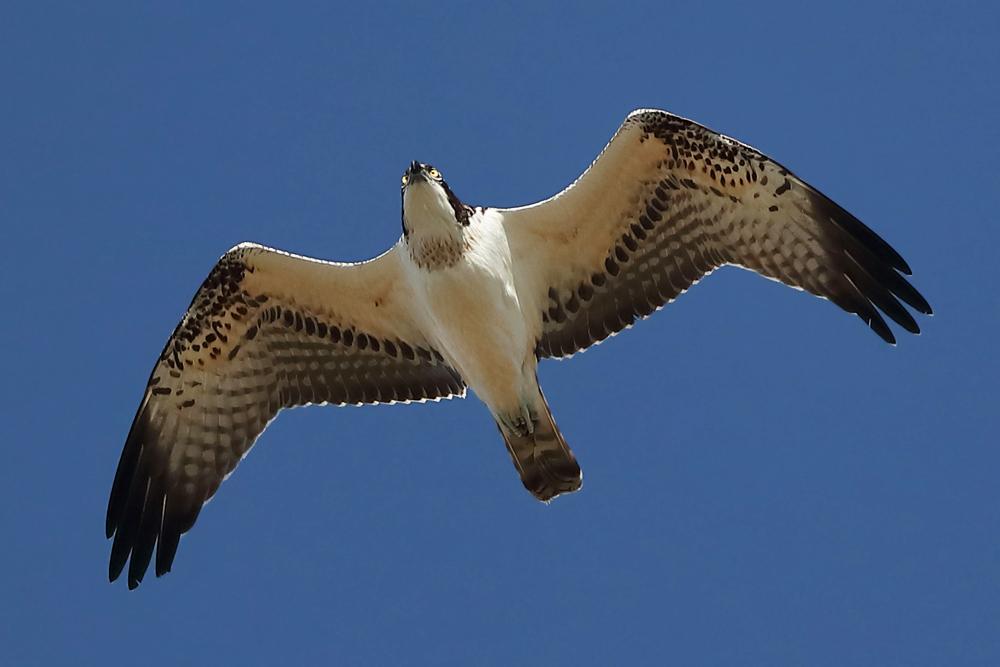Fischadler über der Strickherdicker Feldflur am 09.10.21