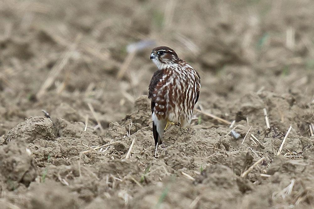 Merlin (Jungvogel) in der Strickherdicker Feldflur am 5.10.21